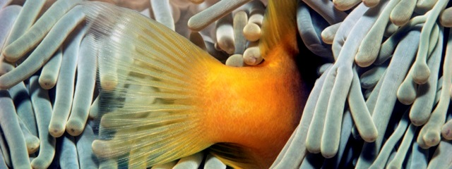Clownfish, photo by Jeff Rotman